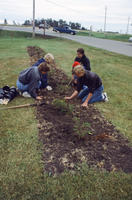 Four Teenage Boys Planting Small Bushes