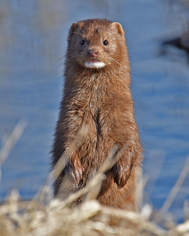 Photo courtesy of Ken Saunders II, taken March 18, 2016, at Otter Creek Marsh Wildlife Management Area in Tama County, Iowa