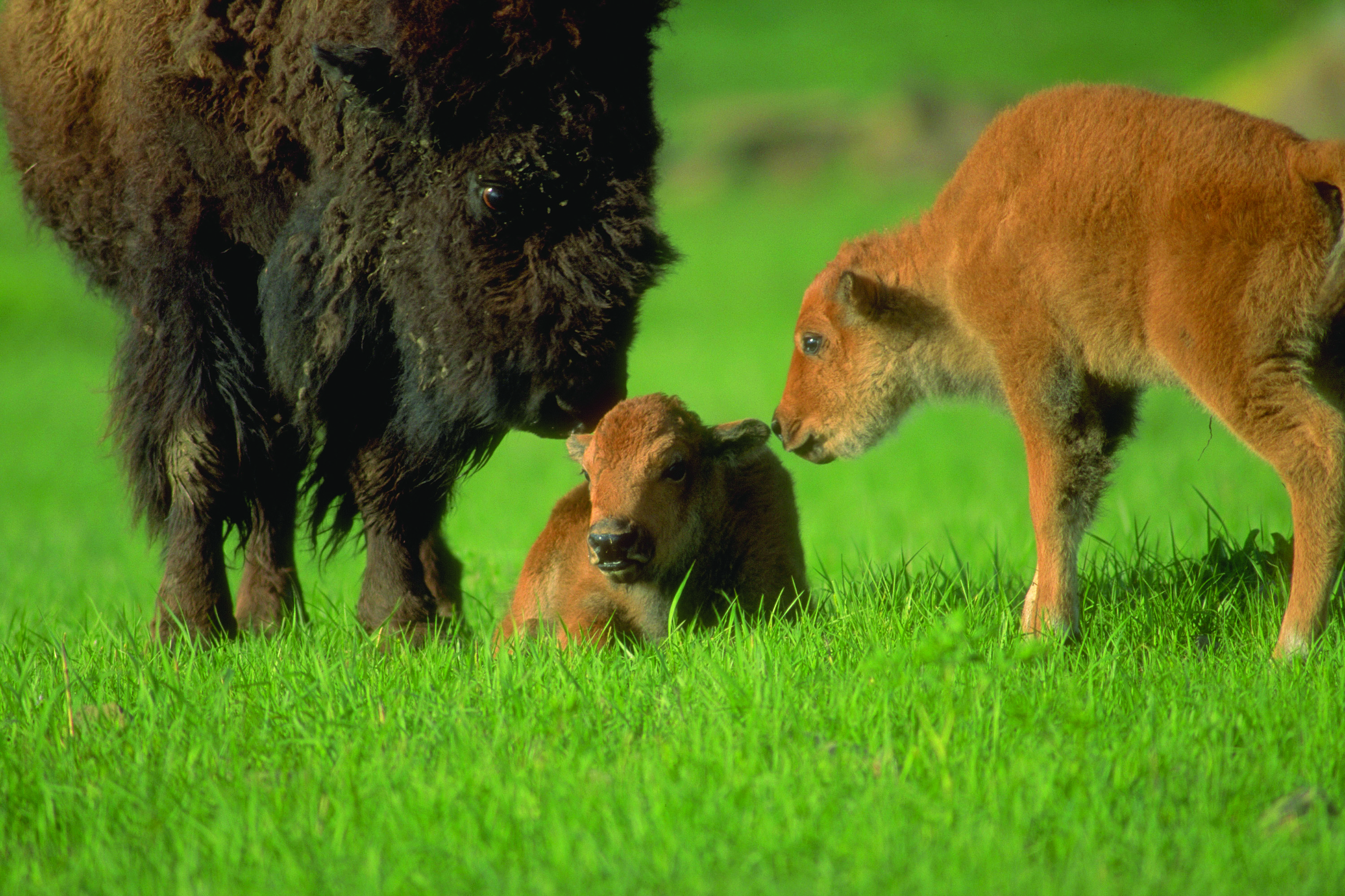 A cow bison and two young calves---one hers, the other belonging to one of her herd-mates. Photo by Harvey Payne