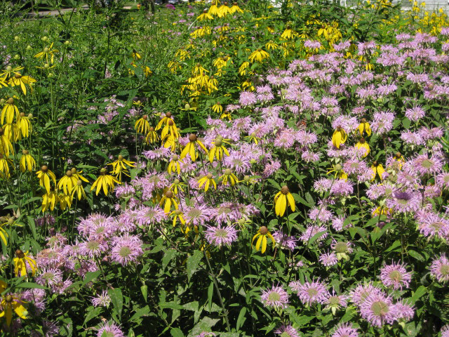 A prairie garden has replaced the lawn outside Grinnell College's Macy House. Photo by Jon Andelson