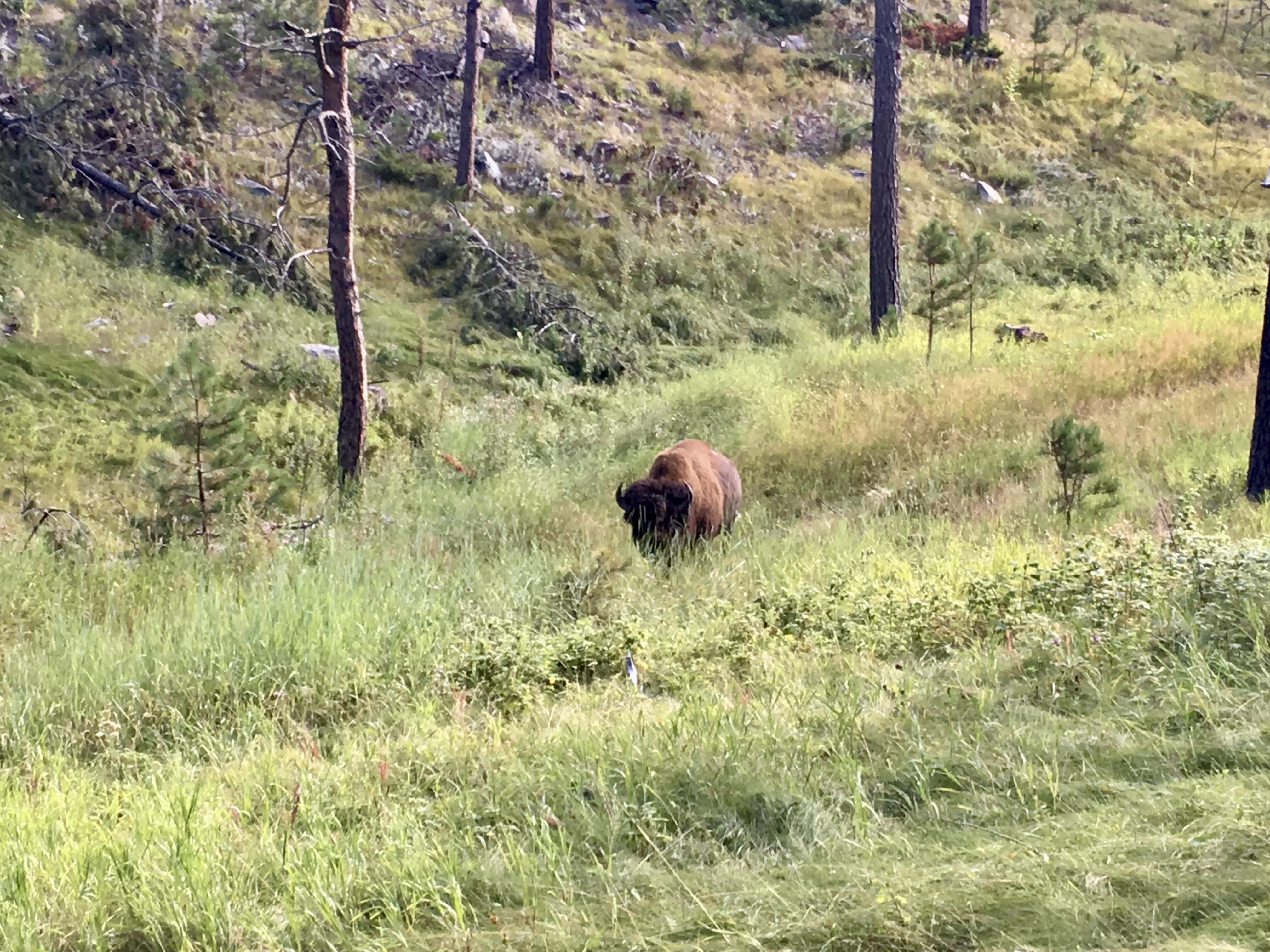 A bull bison who was blocking the trail early one morning in [Custer State Park,](https://gfp.sd.gov/parks/detail/custer-state-park/) South Dakota