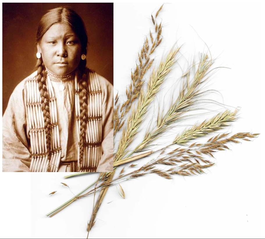 Indian grass (*Sorghastrum nutans*) and Canada Wild Rye (*Elymus canadensis*). Photo via Wikimedia Commons