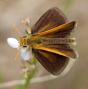 Photo of a Powesheik Skipperling by Michael Reese for [Wisconsin Butterflies.](https://wisconsinbutterflies.org/butterfly) Taken at [Puchyan Prairie State Natural Area,](https://dnr.wi.gov/topic/Lands/naturalareas/index.asp?SNA=172) Green Lake County, Wisconsin. June 28, 2007