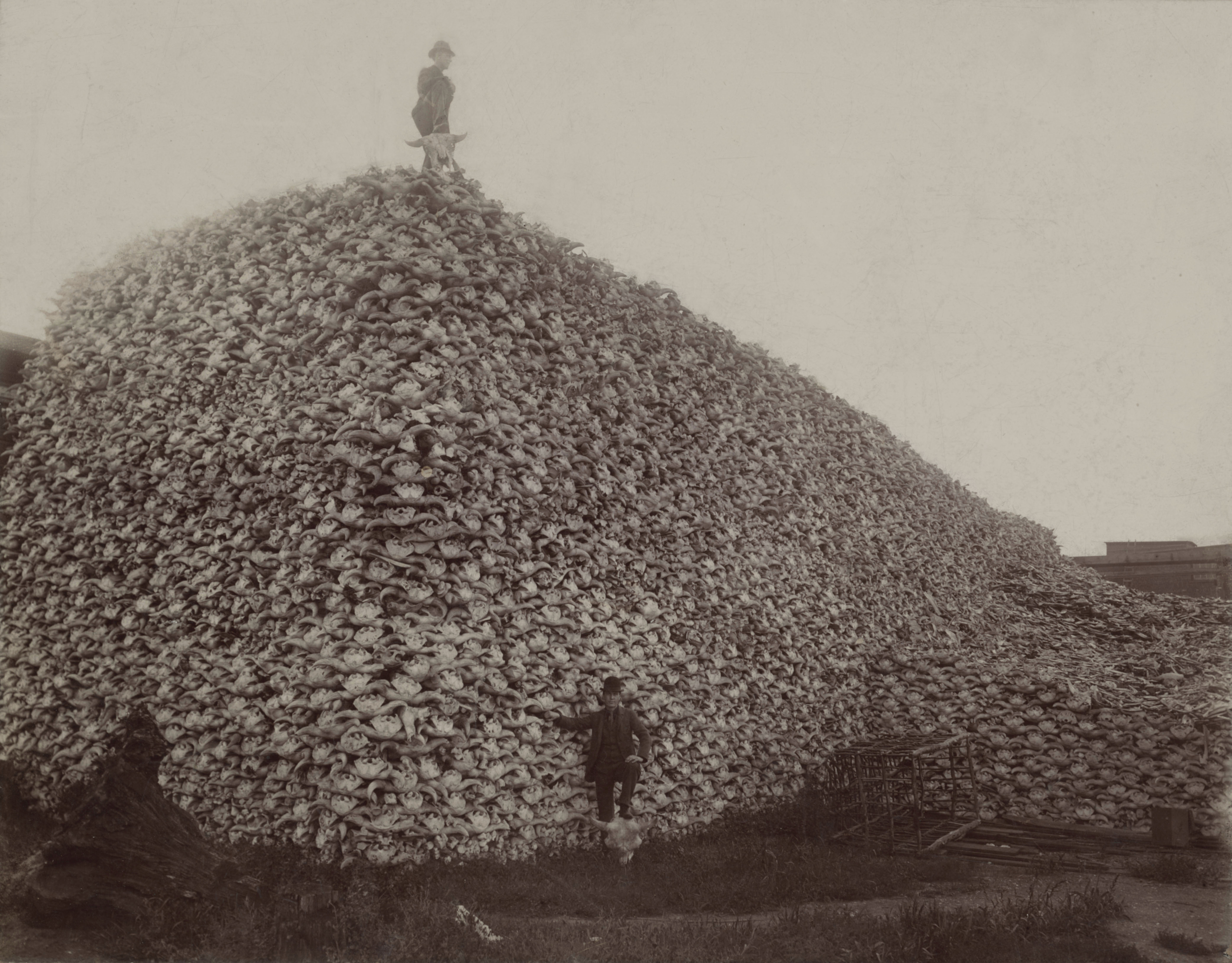 Bison skulls, in Detroit, MI, waiting to be ground up for fertilizer in 1892. Photo courtesy of Wikimedia Commons
