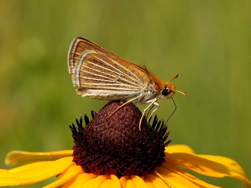 Photo by Michael Reese for [Wisconsin Butterflies.](https://wisconsinbutterflies.org/butterfly) Taken at [Puchyan Prairie State Natural Area,](https://dnr.wi.gov/topic/Lands/naturalareas/index.asp?SNA=172) Wisconsin. July 3, 2006