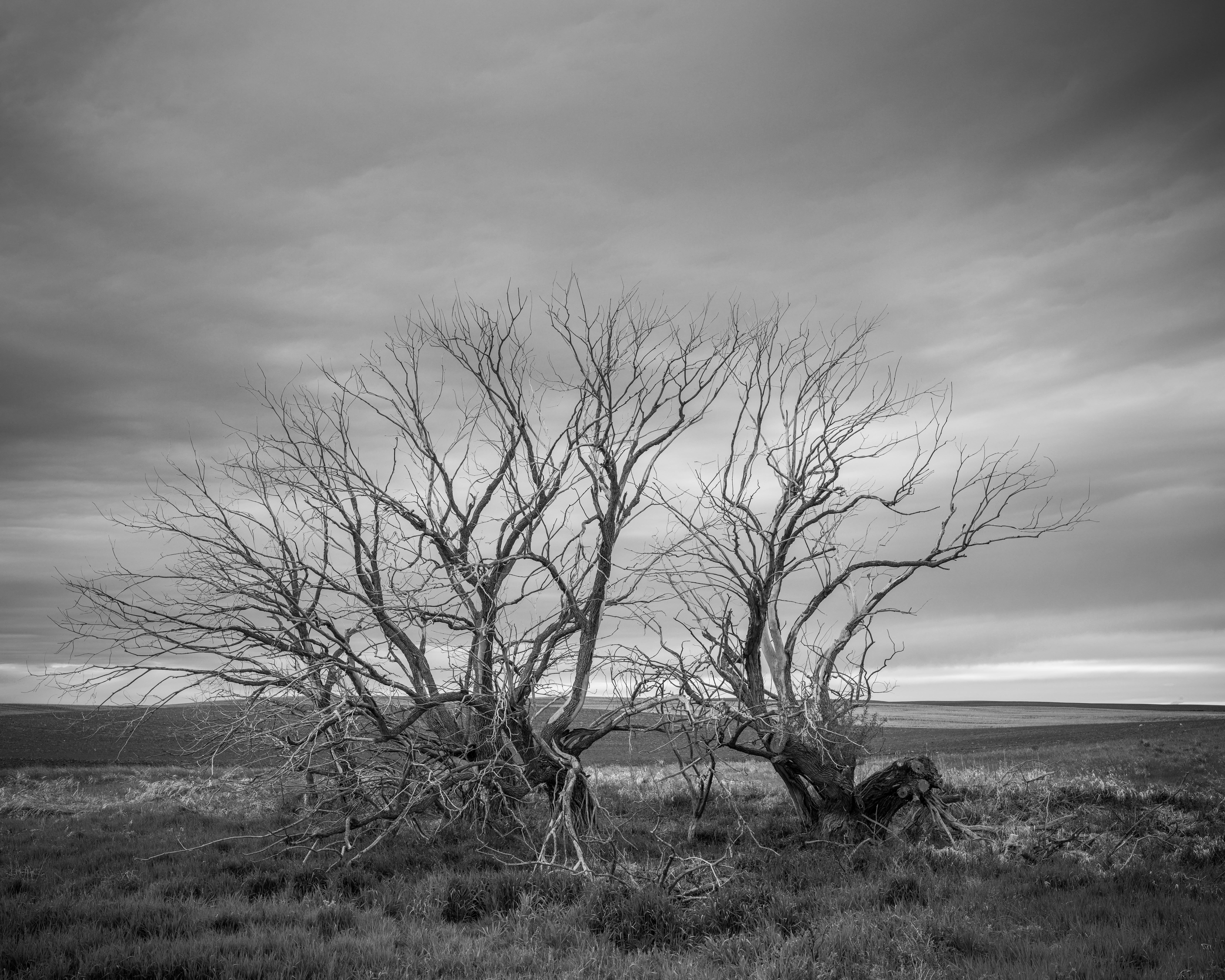 Gnarled trees, Saskatchewan